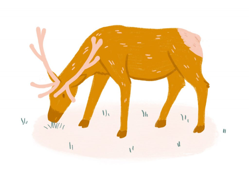 An illustration of an elk, or wapiti
