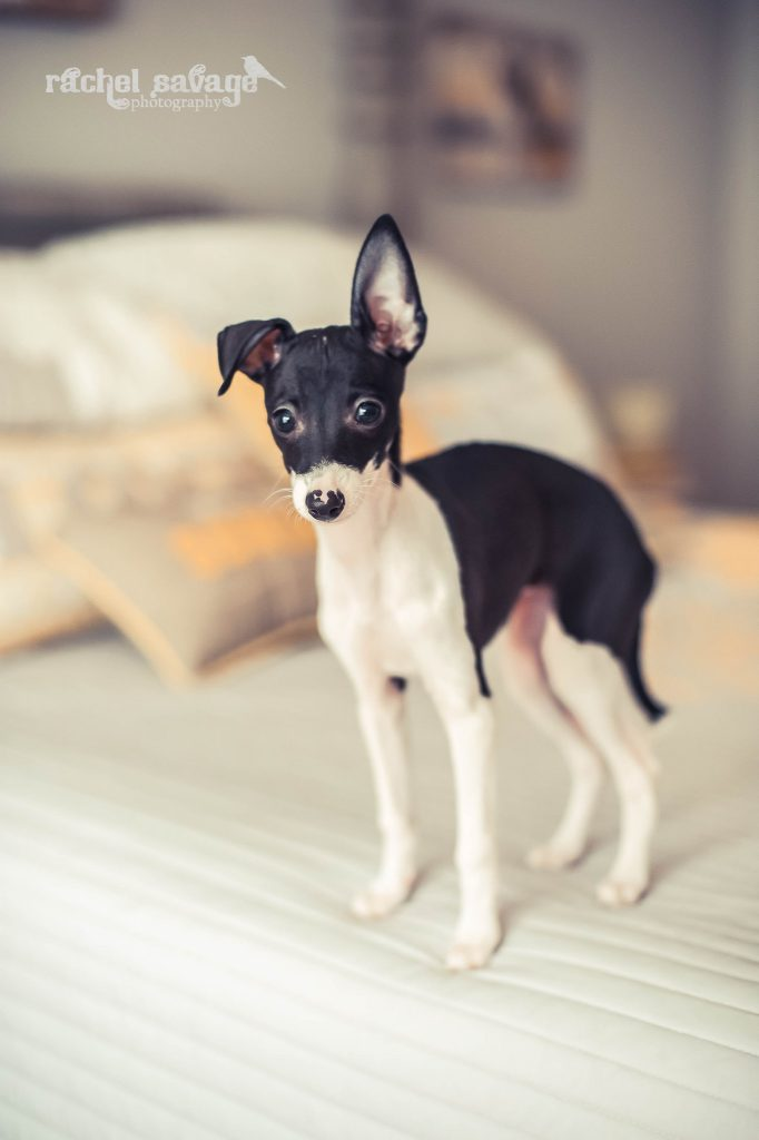 A photograph of an italian greyhound puppy, taken by Rachel Savage