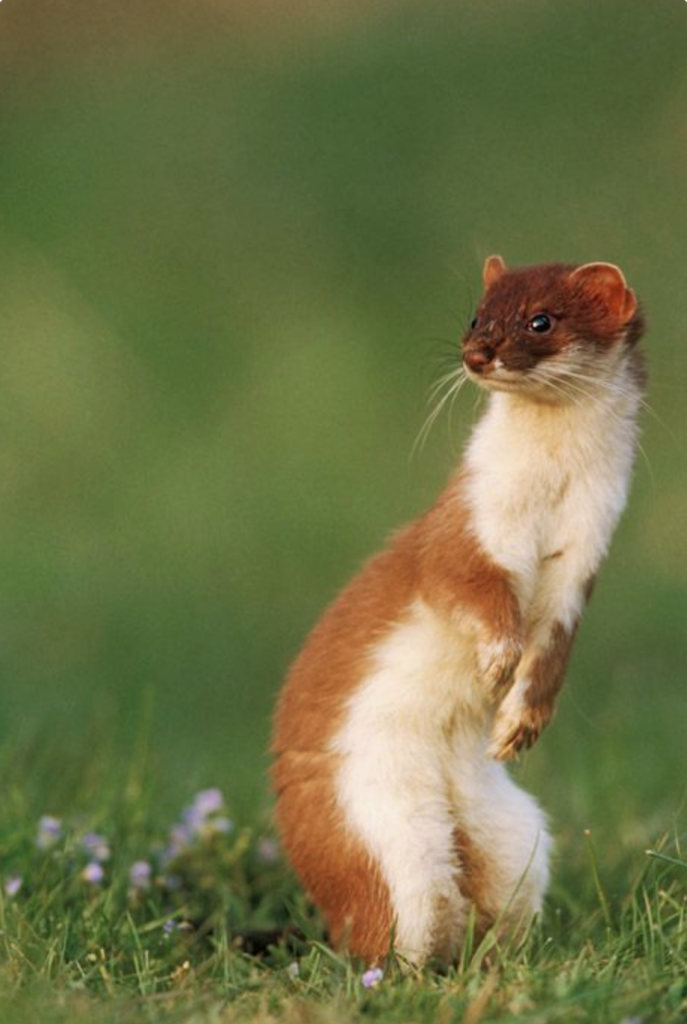 A photograph of a weasel, photographed by Mark Hamblin