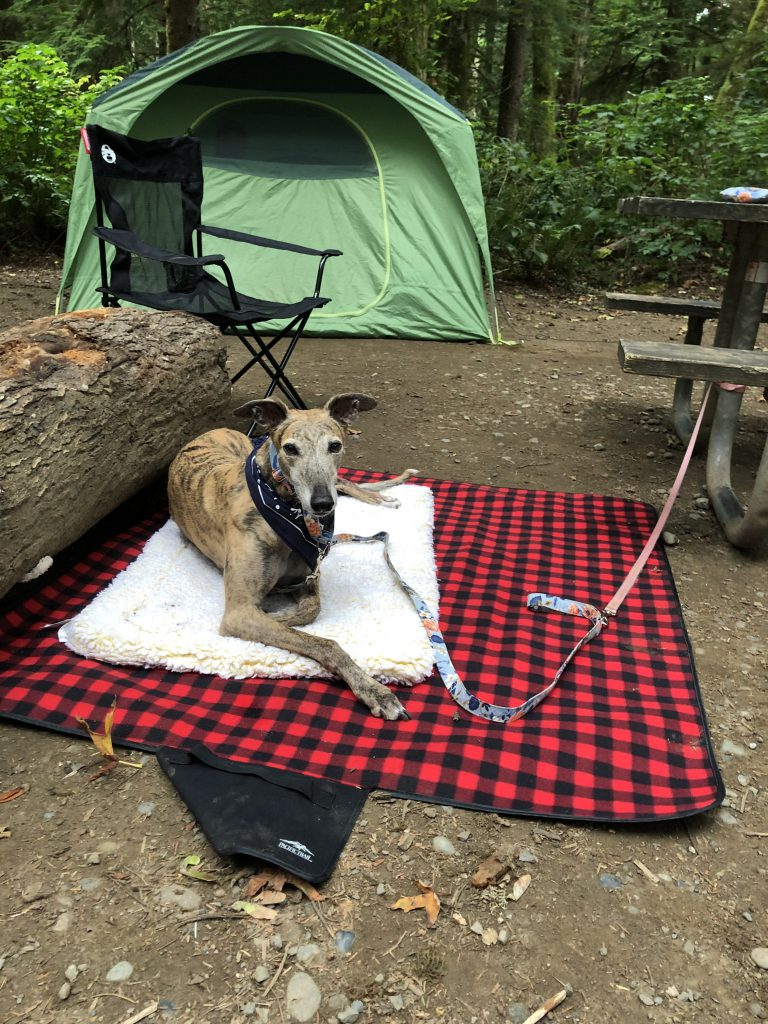 Greer the greyhound lies outside a camping tent
