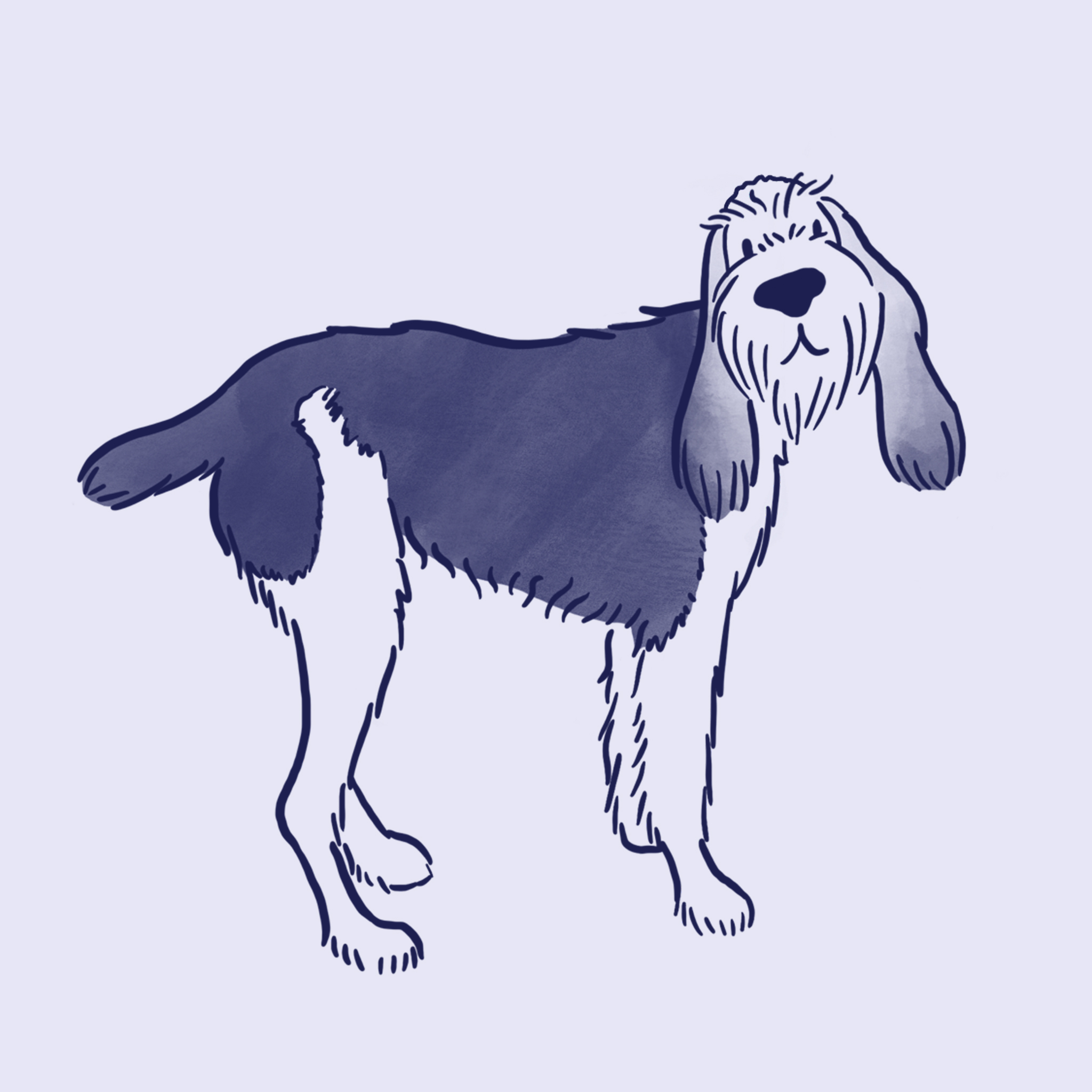 An illustration of an Italian Spinone